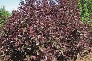 Description Upright Oval Shaped Shrub Has Fragrant Pink Flowers In Spring And Purple Red Foliage Very Hardy Photo Bailey Nurseries Size Ht 8 X 6