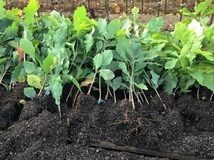 oaks-to-be-planted